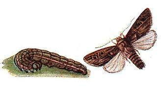 Turnip moth - Illustration of caterpillar and imago
