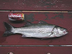 Alameda Striped Bass.JPG