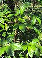 Alangium salviifolium leaves 05.JPG