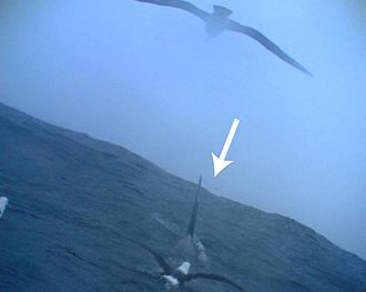 Black-browed albatross - Associating with a killer whale. Picture taken by an albatross-borne camera.