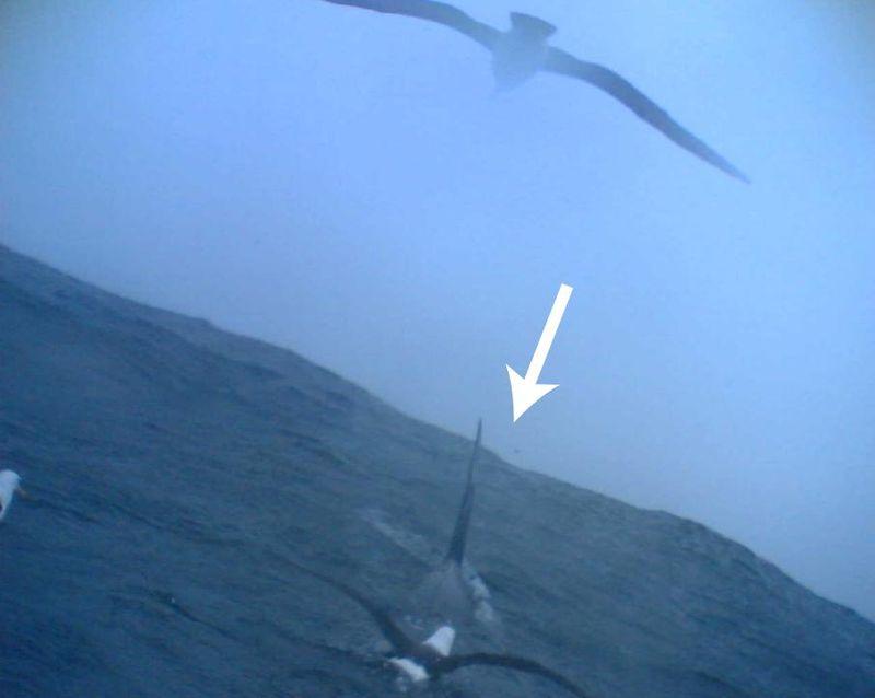 Albatrosses associating with killer whales.JPG