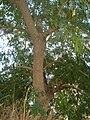 Albizia lebbeck trunk.JPG