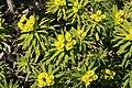 Alcúdia - Cami de Manresa - Euphorbia dendroides 06 ies.jpg