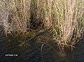 Alligator at Royal Palm^ - panoramio (2).jpg