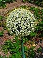 Allium cepa 002.JPG