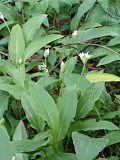 Allium ursinum BavariaMay2005c