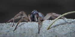 Allocosa brasiliensis male - cropped.jpg