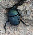 Allogymnopleurus thalassinus 000860-2.jpg