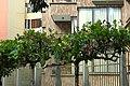 Almendro (Terminalia catappa) (14787590424).jpg