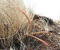 Aloe sp. - tiny cliff dweller (9780903846).jpg