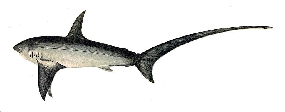 Alopias vulpinus Gervais
