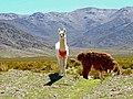 Alpacas - Alpakas - Anden - Andes (34240301296).jpg