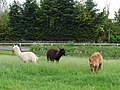 Alpacas at Darts Farm - geograph.org.uk - 1310771.jpg