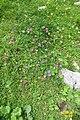 Alpine flora (Gru) (37846817482).jpg