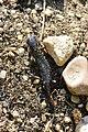 Alpine newt - Ichthyosaura alpestris (40265133520).jpg