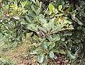 Alseodaphne semecarpifolia 1.JPG