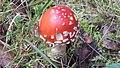Amanita muscaria 120.jpg