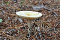 Amanita muscaria var. guessowii - Beech Forest, Cape Cod National Seashore - 2014-10-04 - image 3.jpg