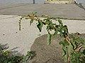 Amaranthus viridis sl52.jpg