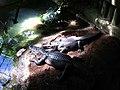 American Alligator (4532171081).jpg