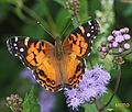American Painted Lady (2833964604).jpg