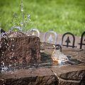 American Robin, bathing in the fountain, 05.jpg