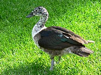 Amerikanische Höckerglanzgans Sarkidiornis sylvicola 050807