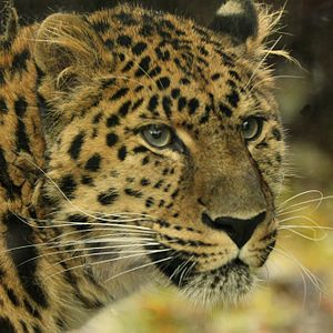 Amur leopard - The close-up of face at Diergaarde Blijdorp