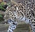 Amur Leopard 10.jpg