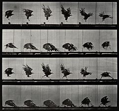 An eagle landing. Photogravure after Eadweard Muybridge, 188 Wellcome V0048786.jpg