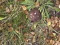 An overripe fungus - geograph.org.uk - 1550837.jpg