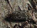 Anacampsis populella - Выемчатокрылая моль осиновая (39990429835).jpg