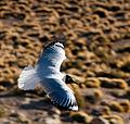 Andean Gull El Tatio.jpg