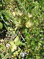 Androsace maxima sl50.jpg
