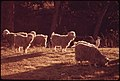 Angora Goats Guarded by a Watchdog on a Farm near Leakey Texas, and San Antonio, 12-1973 (3703581123).jpg