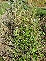 Anoda cristata 'Spurred Anoda' (Malvaceae) plant.JPG