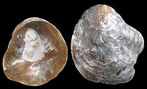 Sattelmuschel (Anomia ephippium) linke Klappe von innen und außen