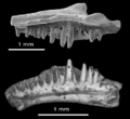 Anoualerpeton unicus maxilla and dentary.png