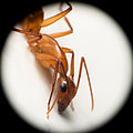 Ant close up, Brazil.jpg