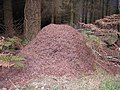 Ant hill - geograph.org.uk - 1594211.jpg