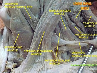 Levator scapulae muscle - Image: Anterior region of neck