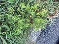Anthemis cotula L. (AM AK330561-2).jpg