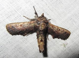 <i>Anuga</i> Genus of moths