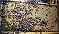 Apis mellifera Bee brood.jpg