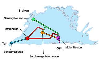 Heterosynaptic plasticity - In Aplysia californica, modulatory interneurons release serotonin, triggering synaptic plasticity in motor neurons.