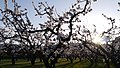 Apricot Orchard on Cascade Ave East Wenatchee Washington.jpg