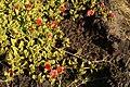 Aptenia cordifolia onRéunionShore.JPG