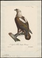 Aquila imperialis - 1825-1834 - Print - Iconographia Zoologica - Special Collections University of Amsterdam - UBA01 IZ18100161.tif