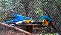 Ara glaucogularis macaw IGZoopark Visakhapatnam (4).JPG