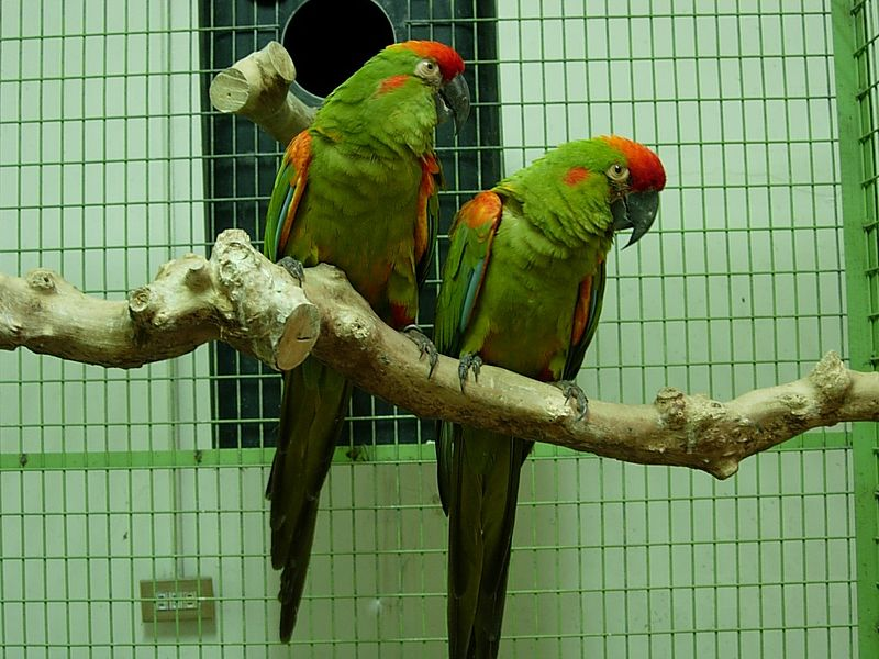 File:Ara rubrogenys -two captive-8b.jpg